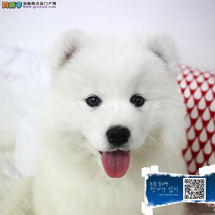 上海国内冠军级萨摩耶犬培育基地 高端萨摩耶宝宝待售
