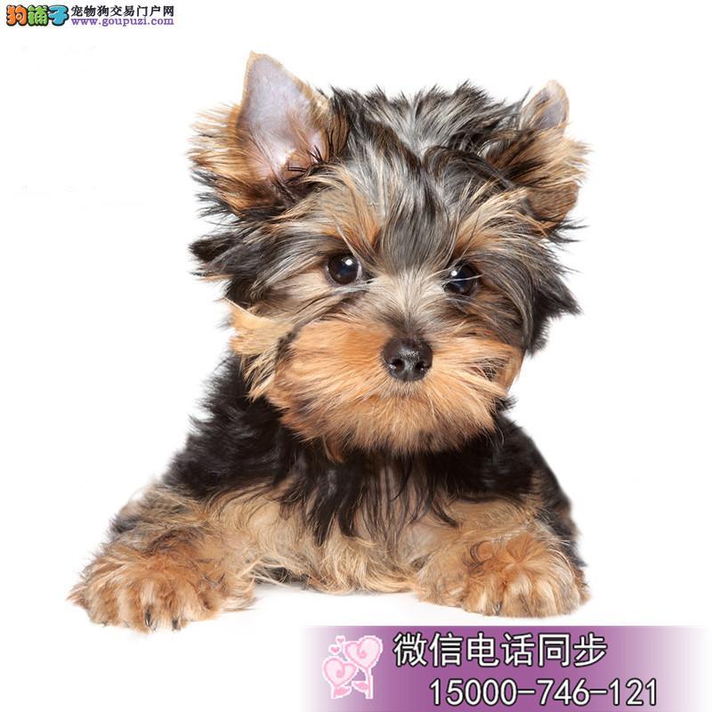 上海超小体约克夏宝宝 特价出售 可以亲自过来选
