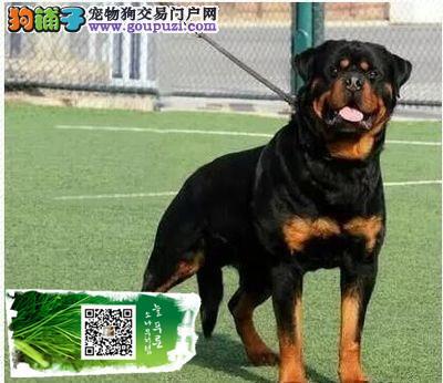 上海德系罗威纳幼犬高大威猛四肢粗壮品相好疫苗已做