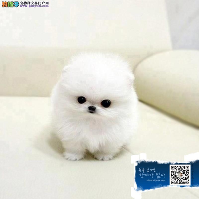 上海纯种球型哈多利博美宝宝 女神萌宠 绝对萌翻你