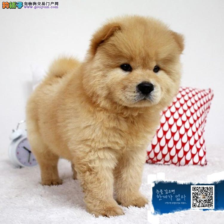 上海松狮幼犬 品质高 血统好 打完疫苗证书齐全