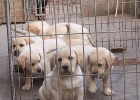 犬舍直销纯种健康可爱的拉布拉多 血统终身保障