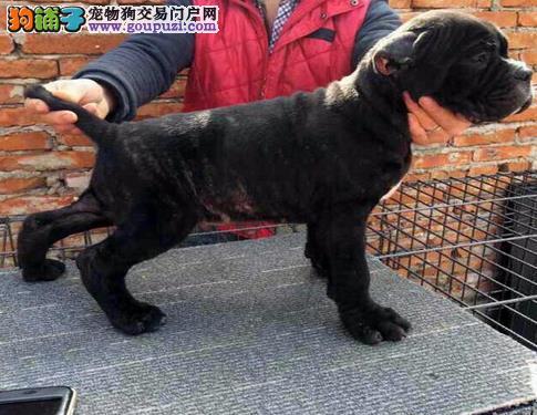 永盛犬业十几年的繁殖经验纯种马犬同城免费送狗