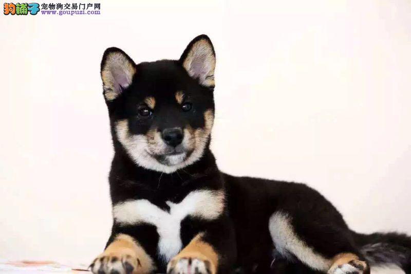 赛级日系柴犬、白脸体正、纯种柴犬