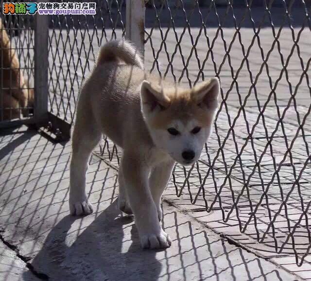 自家专业繁殖秋田犬 来家看种犬当场做检查