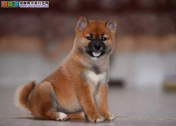 精品柴犬幼犬,黑色柴犬,白色柴犬,赤色