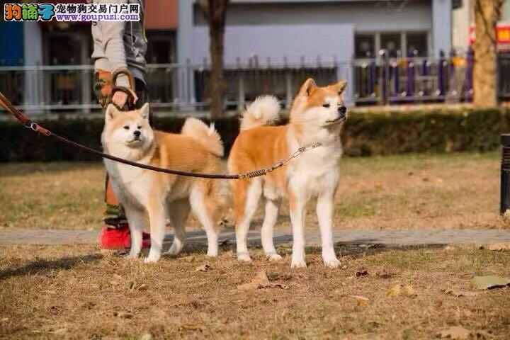 纯种日系秋田犬 忠犬八公