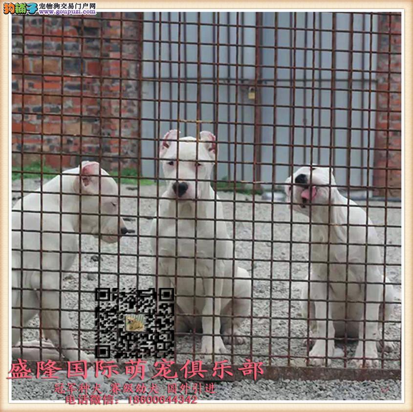 盛隆国际萌宠俱乐部︻杜高犬︻全国连锁 售后有保障