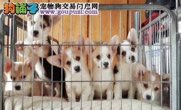 广州哪里有纯种柯基买 广州哪里有繁殖柯基的