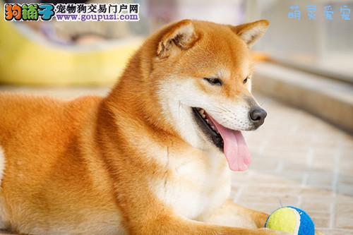 深圳哪里有柴犬买/卖,深圳哪里买柴犬比较好