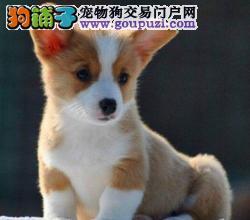 深圳哪里有柯基犬卖/买,柯基犬多少钱,柯基犬纯种吗