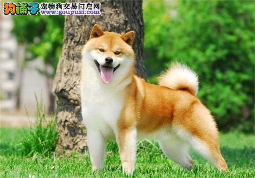 出售正宗血统优秀的九江柴犬喜欢来电咨询