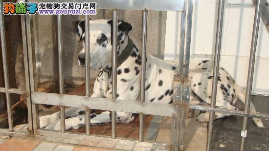 珠三角免费送货上门,全国可发货,纯种斑点犬出售