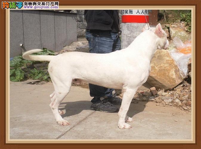 杜高犬高品质幼犬对外销售 公母均有