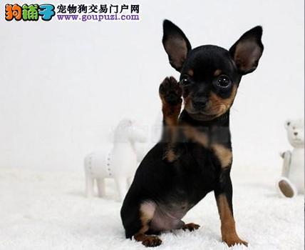 超级活泼可爱的小鹿犬出售中包纯种健康驱虫齐全可送货