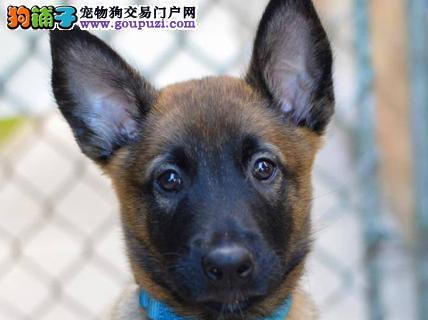 大型专业培育马犬幼犬包健康签订三包合同