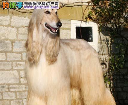 南宁CKU认证犬舍出售高品质阿富汗猎犬品相一流疫苗齐全