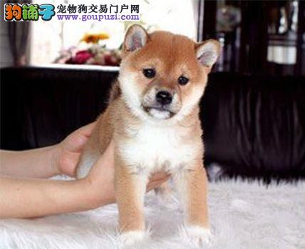 纯种日本柴犬。2到3个月幼犬,一分品质一分货