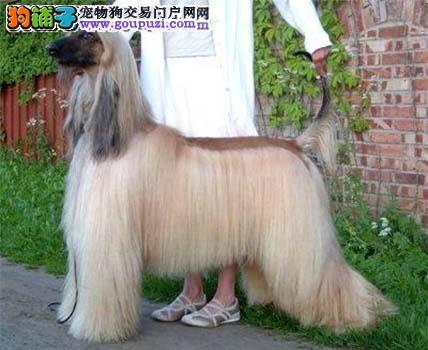 出售多种颜色纯种阿富汗猎犬幼犬可签订活体销售协议