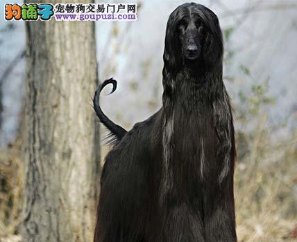 自家繁殖的纯种阿富汗猎犬找主人终身售后送货