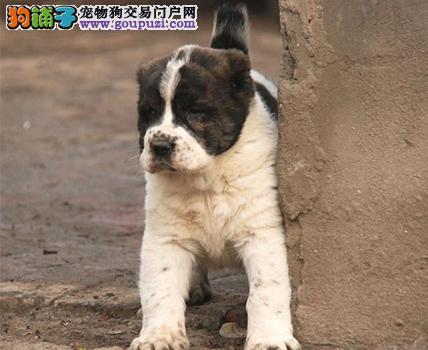 实体店低价促销赛级中亚牧羊犬幼犬期待您的咨询