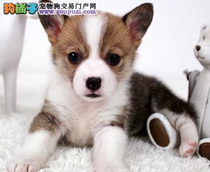 大型专业培育柯基幼犬包健康喜欢微信咨询