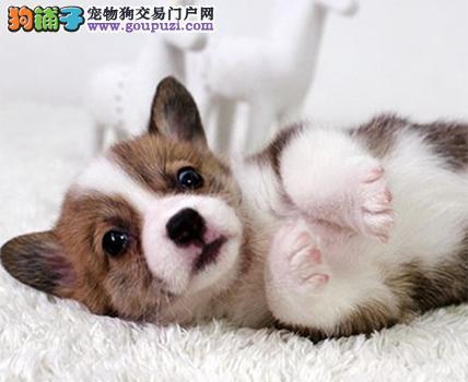 短毛小型犬柯基宝宝 两色三色柯基幼犬出售健康的