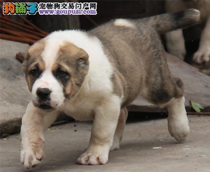 顶级中亚牧羊犬宝宝,CKU认证品质,可送货上门