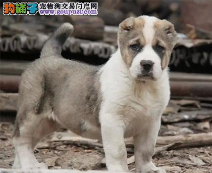 实体店出售精品中亚牧羊犬保健康可签订活体销售协议