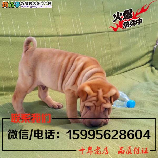 山南地区出售精品沙皮狗/送货上门/质保一年