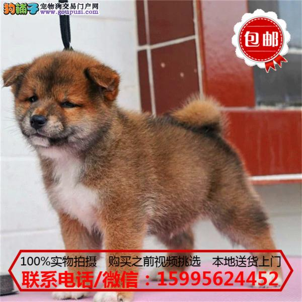 平凉地区出售精品柴犬/质保一年/可签协议