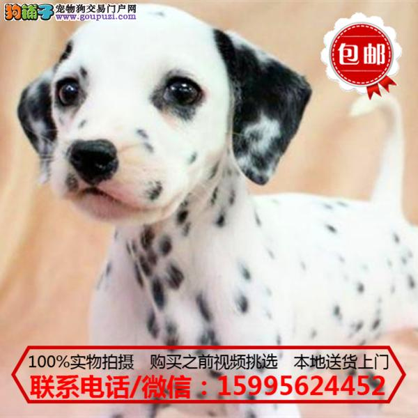 平凉地区出售精品斑点狗/质保一年/可签协议