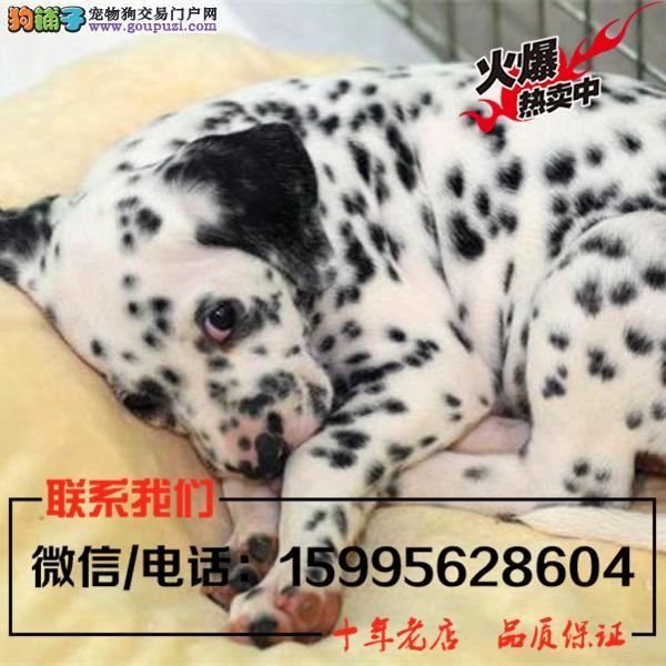 庆阳地区出售精品斑点狗/送货上门/质保一年