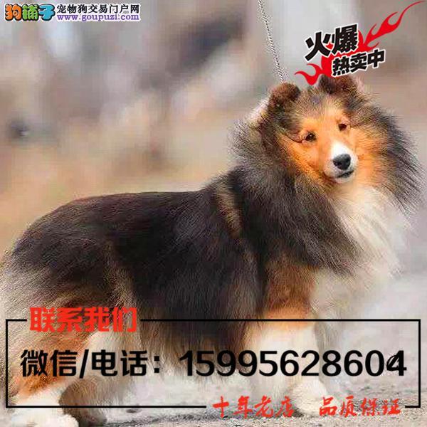 庆阳地区出售精品苏格兰牧羊犬/送货上门/质保一年