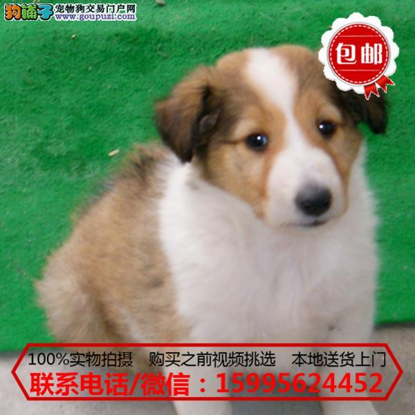 九江市出售精品苏格兰牧羊犬/质保一年/可签协议