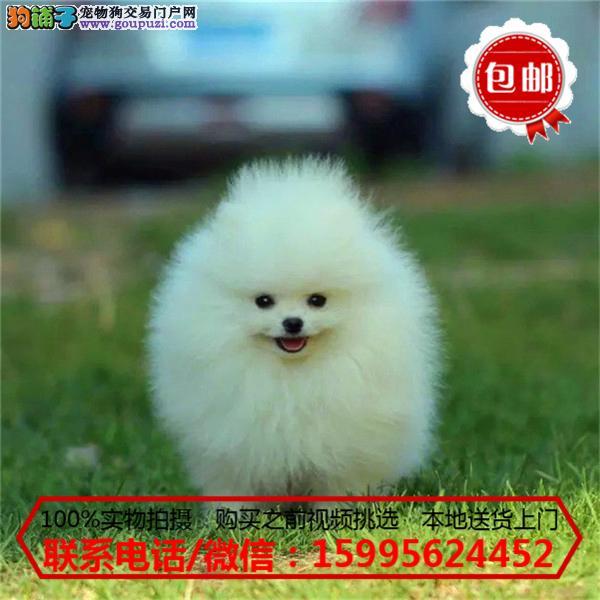 石嘴山市出售精品博美犬/质保一年/可签协议