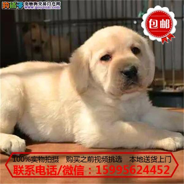 石嘴山市出售精品拉布拉多犬/质保一年/可签协议