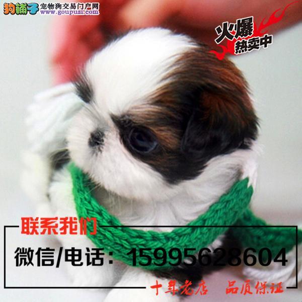 湛江市出售精品西施犬/送货上门/质保一年