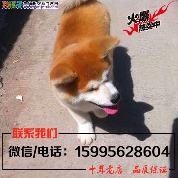 海北州出售精品秋田犬/送货上门/质保一年