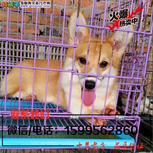 津南区出售精品柯基犬/送货上门/质保一年