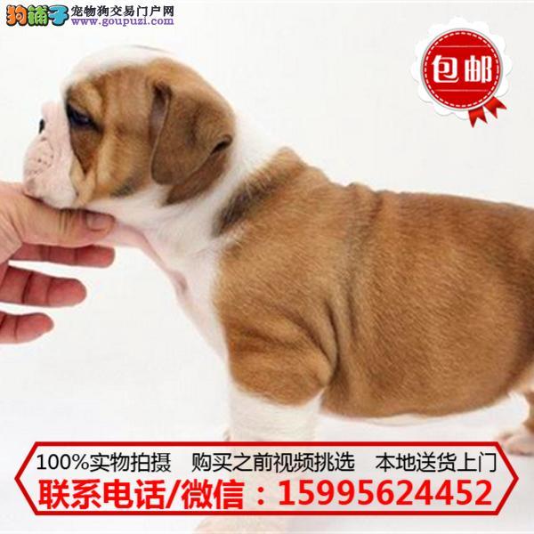 静海县出售精品英国斗牛犬/质保一年/可签协议