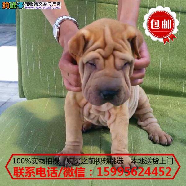 鄂尔多斯出售精品沙皮狗/质保一年/可签协议