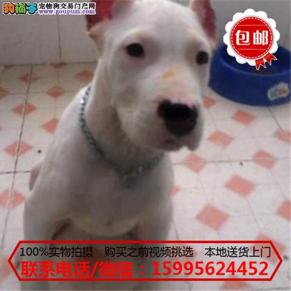 克拉玛依出售精品杜高犬/质保一年/可签协议