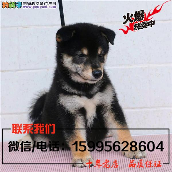 阿拉善盟出售精品柴犬/送货上门/质保一年
