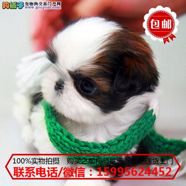 和田地区出售精品西施犬/质保一年/可签协议