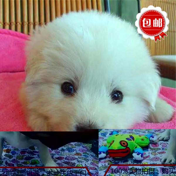 吉林市出售精品法国斗牛犬/质保一年/可签协议