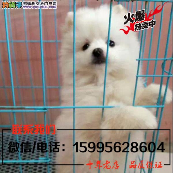柳州市出售精品博美犬/送货上门/质保一年