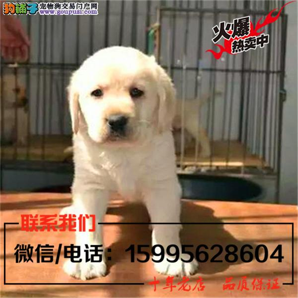 洛阳市出售精品拉布拉多犬/送货上门/质保一年
