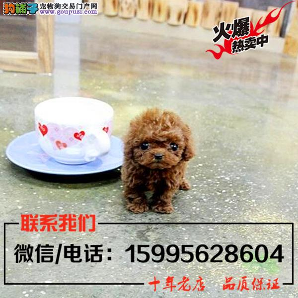 新乡市出售精品泰迪犬/送货上门/质保一年