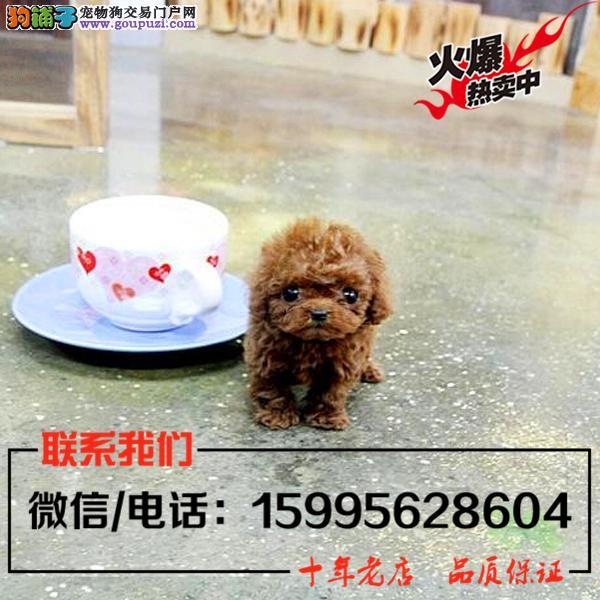 漯河市出售精品泰迪犬/送货上门/质保一年